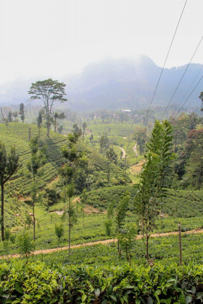 cosa vedere in sri lanka, coltivazioni di tè nuwara eliya